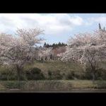 平筒沼桜まつり2014